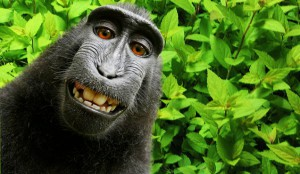 monkey selfie copyright issue
