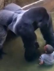 Should the Parents of the Boy Who Fell Into a Gorilla Enclosure Have Been Held Liable?