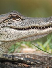 Alligator Attack at Walt Disney World: How Wild Animals Can Change the Claim