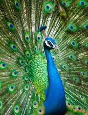 Woman Denied Emotional Support Peacock on United Flight