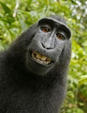 Monkey Selfie Lawsuit: PETA Loses Case Arguing Monkeys Can Hold Copyright