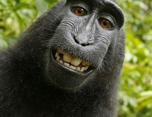 Monkey Selfie Lawsuit: PETA Loses Case Arguing Monkeys Can Hold Copyright